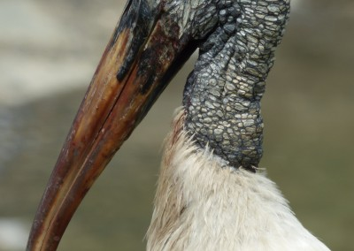 Profile of Wood Stork