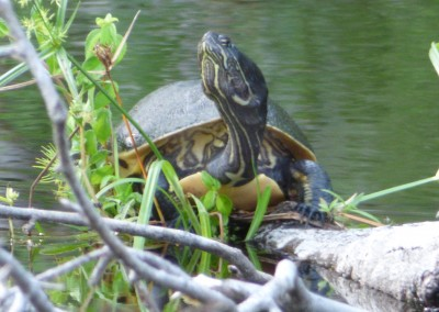 Basking Turtle
