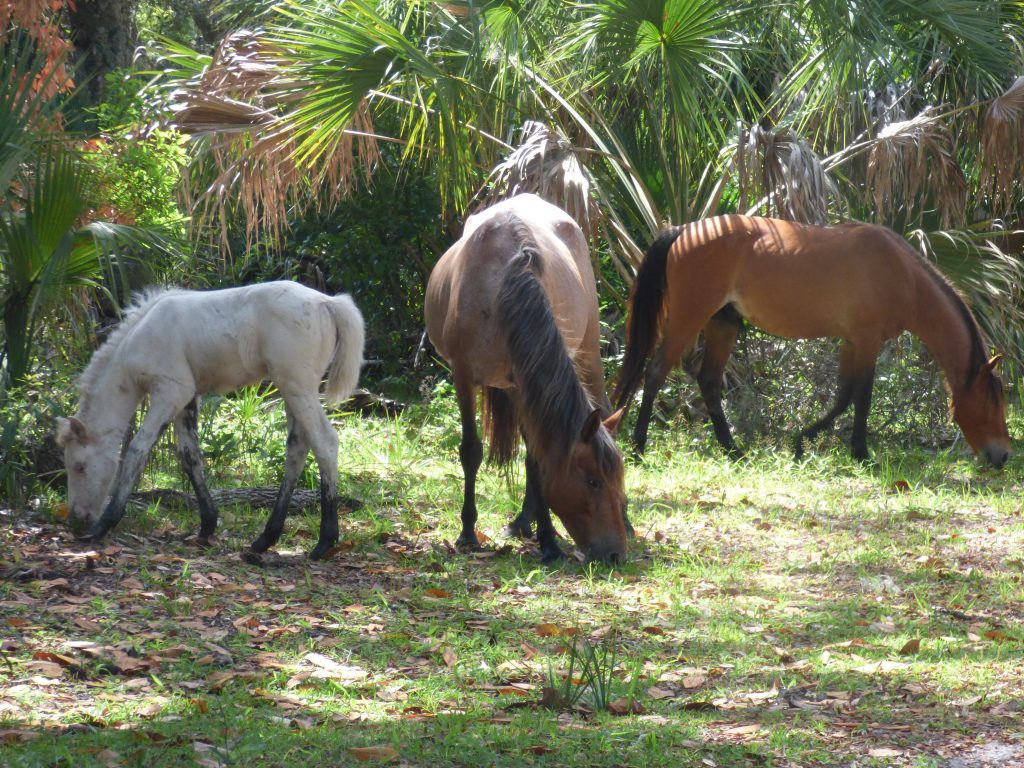 A family of horses on Cumberland Island.