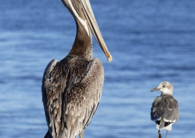 Pelican and Seagull